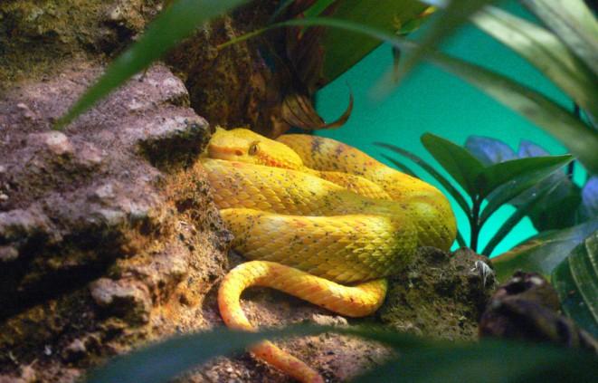 Imatge d'un rèptil, una serp verinosa