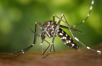 Imatge d'un mosquit tigre picant una persona