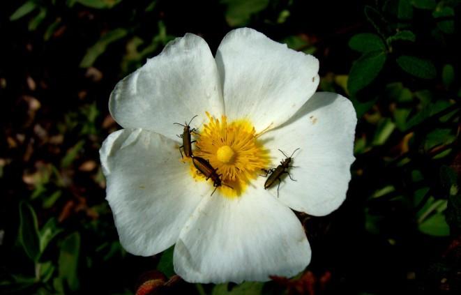 Escarabats sobre una flor de Cistus