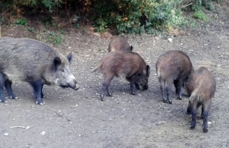 Imatge de senglars, un exemple de fauna urbana en el cas de Barcelona
