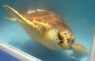 Exemlar de tortuga del CRAM