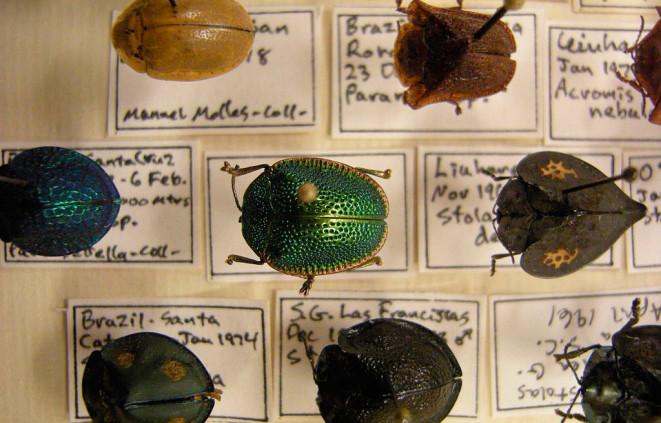 Imatge d'una col·lecció d'escarbats, un exemple de col·leccionisme científic