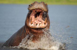 Imatge d'un dels gegants de Chobe,